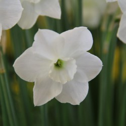 Narcissus 'Dainty Miss'