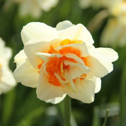 Narcissus 'Flower Parade'