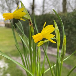Narcissus 'Little Emma'