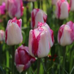 Tulipa 'Just Kissed'