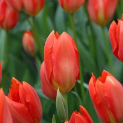 Tulipa 'Orange Brilliant'