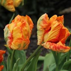Tulipa 'Professor Röntgen'