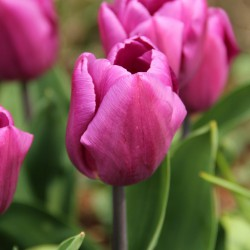Tulipa 'Purple Prince'