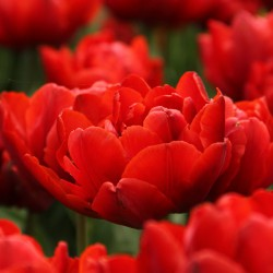 Tulipa 'Red Princess'
