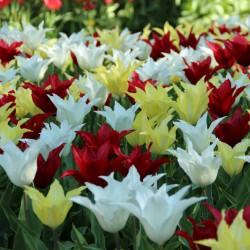 Tulipa -Tres Chic Festival- ®
