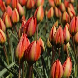 Tulipa whittallii