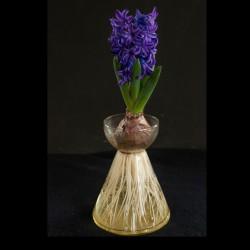 Hyacinthus 'Blue Star'...