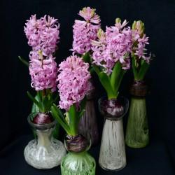 Hyacinthus 'Pink Pearl'...