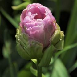 Tulipa 'Violet Pranaa' ®