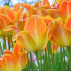 Tulipa 'Je t'aime'