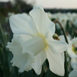 Narcissus 'Broughshane'
