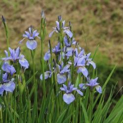 Iris sibirica 'Perry's Blue'