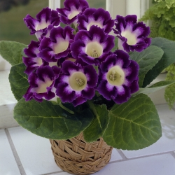 Gloxinia 'Hollywood'