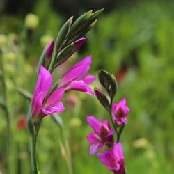 Gladiolus communis subsp....