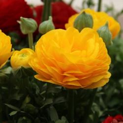Ranunculus asiaticus 'Aviv'...