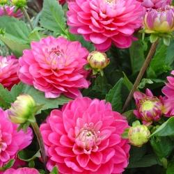 Dahlia 'Melody Pink Allegro'