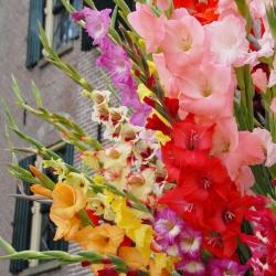 Gladiolus grootbloemig mix