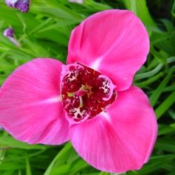 Tigridia pavonia 'Lilacea'