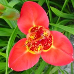 Tigridia pavonia 'Speciosa'