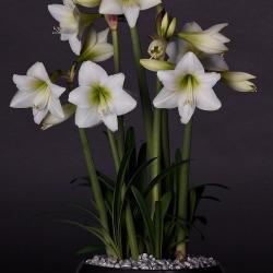 Hippeastrum 'White Garden'