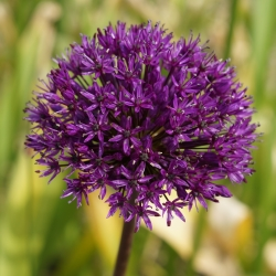 Allium aflatunense 'Purple...