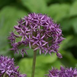 Allium 'Violet Beauty'