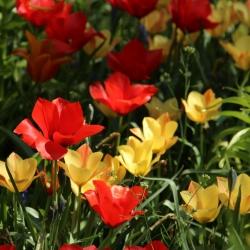 Tulipa batalinii mix