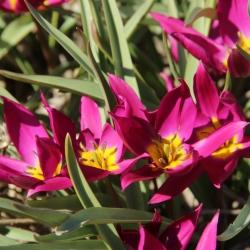 Tulipa humilis 'Violacea...