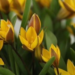 Tulipa neustruevae