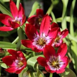 Tulipa 'Tiny Timo'