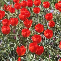 Tulipa vvedenskyi